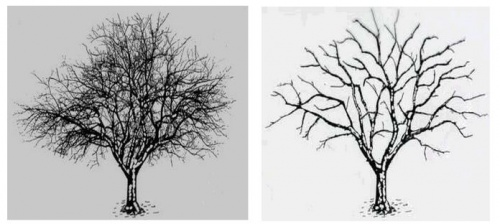 Streuobstbaum vor und nach dem Schnitt